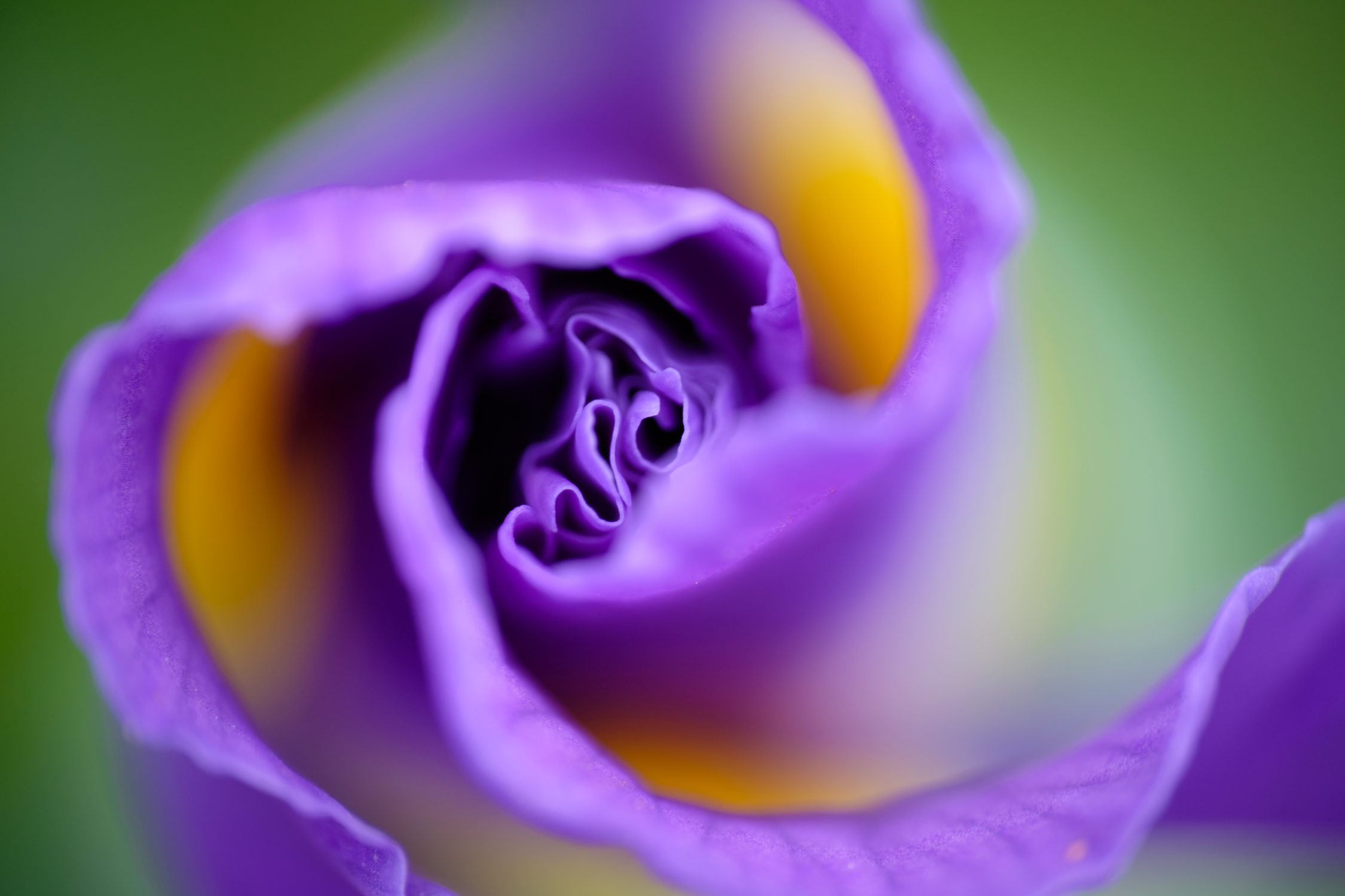 Iris Flower Bud Photographs By Roy Tanck